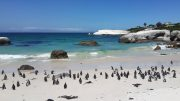 Cape Town - penguins at Boulders Beach