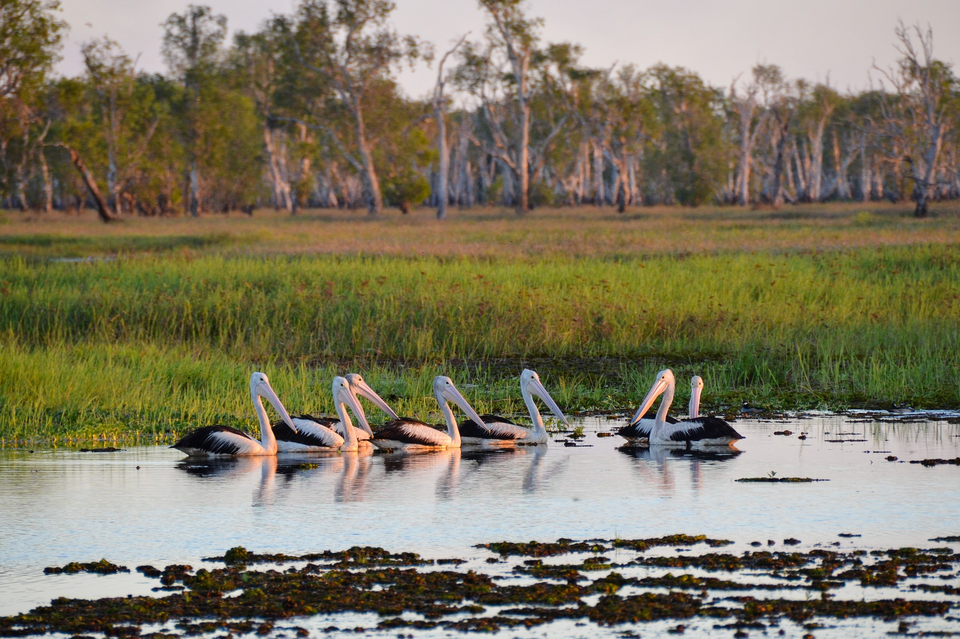 Pelicans resting in Kakadu National Park, Australia
