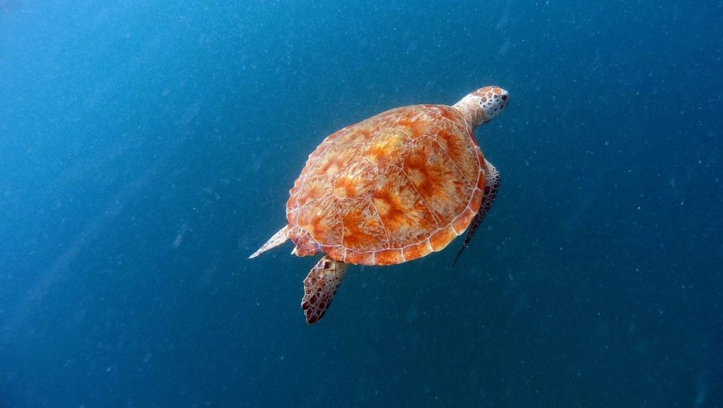 Swim with Sea Turtles in Barbados